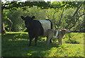 SX8062 : Cow and calf by the Dart by Derek Harper