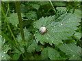 TF0720 : Snail on a stinging nettle by Bob Harvey