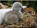 SD7908 : Newly Hatched Cygnet by David Dixon