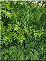 TF0820 : Hawthorn in hedgerow - 23 by Bob Harvey