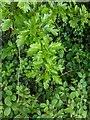 TF0820 : Hawthorn in hedgerow - 25 by Bob Harvey