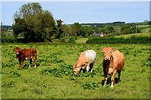 H6056 : Cattle, Crew by Kenneth  Allen