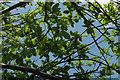 SX8870 : Sweet chestnut near The Round House by Derek Harper