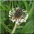 SP2964 : Ribwort Plantain in flower, St Nicholas Park, Warwick by Robin Stott