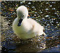 SD7909 : Very Young Cygnet on the Manchester, Bolton and Bury Canal by David Dixon