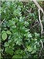 TF0820 : Hawthorn in hedgerow - 32 by Bob Harvey