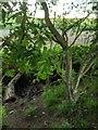 TF0820 : Hawthorn in hedgerow - 34 by Bob Harvey