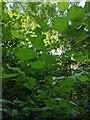 TF0820 : Hazel leaf canopy by Bob Harvey