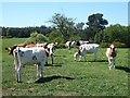 NY9956 : Bullocks in field near Quarry House by Oliver Dixon
