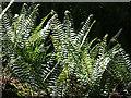 NJ3357 : Ferns by Anne Burgess