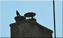 ST8180 : Blackbird Singing, Acton Turville, Gloucestershire 2020 by Ray Bird