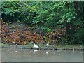 SE3136 : Swans at the edge of Gledhow Valley Lake by Stephen Craven
