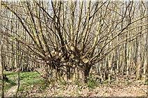 TQ5944 : Coppicing, Quarry Wood by N Chadwick