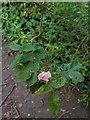 TF0821 : Dog rose by Bob Harvey