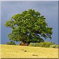 TL5501 : Tree in field, Littlebury, Stanford Rivers by Roger Jones