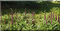 SX7476 : Foxgloves, Emsworthy by Derek Harper