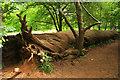ST2232 : Sweet chestnut, Fyne Court by Derek Harper