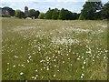 TQ5952 : Ox-eye daisies on Shipbourne Common by Marathon