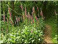 ST2232 : Foxgloves, Woodney Copse by Derek Harper