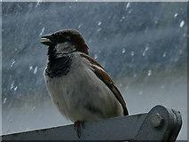 NJ9304 : Duthie Park: sparrow in the winter gardens by Stephen Craven