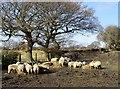 NZ1249 : Sheep beside Butsfield Lane by Robert Graham