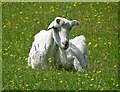 SK3084 : Sad goat in a meadow by Common Lane by Neil Theasby