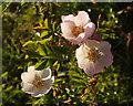SX9066 : Roses, Nightingale Park by Derek Harper