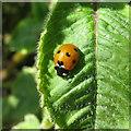 NT2271 : 7-spot Ladybird - Coccinella septempunctata by M J Richardson