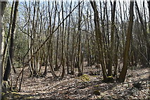 TQ6040 : Coppicing, Gregg's Wood by N Chadwick