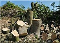 NO3002 : Tree stumps by Bill Kasman