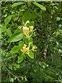 TF0820 : Honeysuckle flowers by Bob Harvey