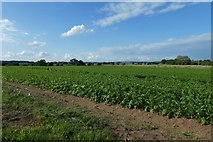 SE8437 : Potatoes growing near Sand Lane by DS Pugh