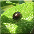 NT2470 : Rosemary Beetle by M J Richardson