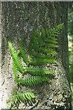 SK2563 : Bracken frond beside an oak by David Lally