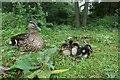 SE6250 : Ducklings near James by DS Pugh
