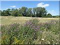 TQ4677 : Knapweed on East Wickham Open Space by Marathon