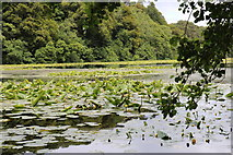 NS2209 : Lily Pads, Swan Pond Culzean Country Park by Billy McCrorie