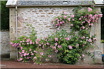 NS2209 : Roses at the Aviary, Culzean Country Park by Billy McCrorie