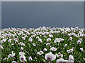 NU0335 : Opium Poppies after a downpour by James T M Towill