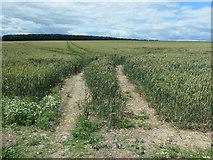 SE8846 : Wheatfield, Londesborough Wold by Christine Johnstone