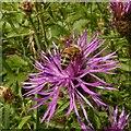 SK6650 : Honey bee (Apis sp.) on Greater Knapweed (Centaurea scabiosa) by Alan Murray-Rust
