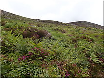 J3729 : Bracken, tussocky grass, heather and hidden boulders in the col between Millstone Mountain and Thomas's Mountain by Eric Jones