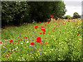 SE2435 : Summer flowers, Waterloo Lane, Bramley by Stephen Craven