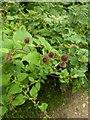 TF0820 : Burdock flowering by Bob Harvey