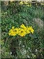 TF0820 : Common ragwort by Bob Harvey