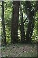 SK9920 : Tree trunks by Bob Harvey