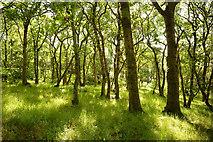 NH5857 : Easter Oak Wood, Black Isle by Julian Paren