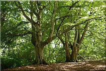 NH5857 : Beech trees in Drummondreach Oak Wood by Julian Paren