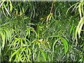 NT2076 : Willow-leaf Podocarp - detail by M J Richardson