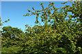 SX8863 : Apples, Cockington orchard by Derek Harper